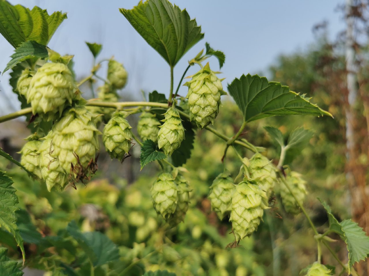 Beautiful hops, ripe and ready for the picking.